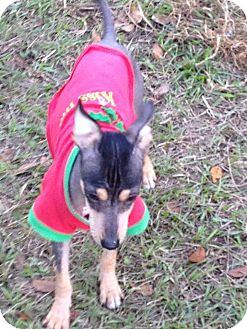 Xoloitzcuintle/Mexican Hairless Puppy for adoption in Leesburg, Florida - Thomas ADOPTED