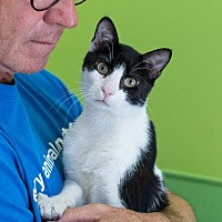 Domestic Shorthair Cat for adoption in Houston, Texas - Fowler
