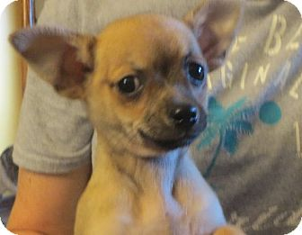 Pomeranian/Chihuahua Mix Puppy for adoption in Allentown, Pennsylvania - Flynn