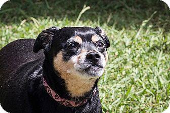 Miniature Pinscher/Pug Mix Dog for adoption in St Helena, California - Lisa
