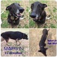 Adopt A Pet :: Marvin - Fort Worth, TX
