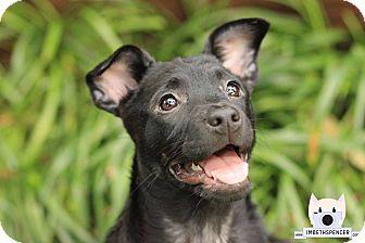 Boston Terrier/Rat Terrier Mix Puppy for adoption in Colmar, Pennsylvania - Monkey She