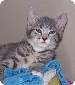 Domestic Shorthair Kitten for adoption in Elmwood Park, New Jersey - Wolfie