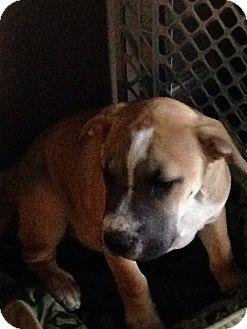 Mastiff/Labrador Retriever Mix Puppy for adoption in Ortonville, Michigan - Briscoe