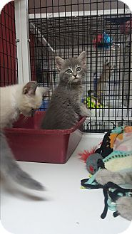 Domestic Mediumhair Kitten for adoption in yuba city, California - Helo