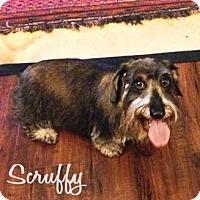 Dachshund Dog for adoption in San Antonio, Texas - Scruffy
