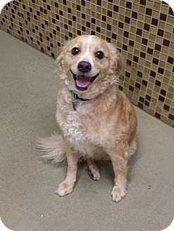 Spaniel (Unknown Type) Mix Dog for adoption in Encino, California - Teddy