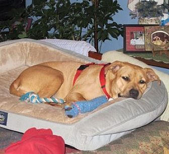 Hound (Unknown Type)/Staffordshire Bull Terrier Mix Dog for adoption in Chalfont, Pennsylvania - Penny
