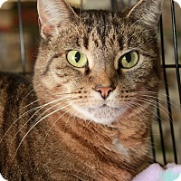 American Bobtail Cat for adoption in Youngsville, North Carolina - Chloe Ann