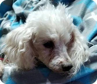 Toy Poodle Dog for adoption in Macomb, Illinois - Mason
