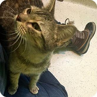 Domestic Shorthair Cat for adoption in Janesville, Wisconsin - Tootsie Pop