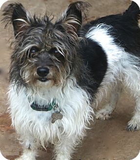 Schnauzer (Miniature)/Terrier (Unknown Type, Small) Mix Dog for adoption in Norwalk, Connecticut - Manny