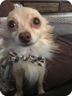 Chihuahua Dog for adoption in Las Vegas, Nevada - Brandi