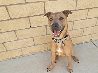 Shepherd (Unknown Type)/Pit Bull Terrier Mix Puppy for adoption in Saugus, California - Tony Soprano