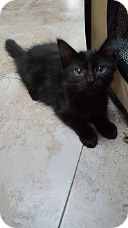 Domestic Longhair Kitten for adoption in Tampa, Florida - Tipper