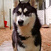 Adopt A Pet :: Chico the Husky - Matawan, NJ