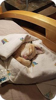 Domestic Shorthair Kitten for adoption in La puente, California - Kiki