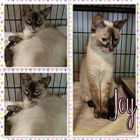 Adopt A Pet :: Joy - Cedar Springs, MI