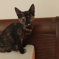 Calico Kitten for adoption in Tampa, Florida - Scout