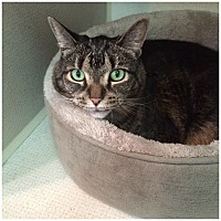 Domestic Shorthair Cat for adoption in Hamilton, New Jersey - LADY