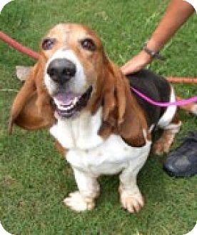 Basset Hound Dog for adoption in Charleston, South Carolina - Jeremy