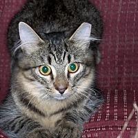 Adopt A Pet :: Simba - Ashland, VA