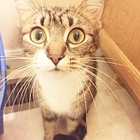 Adopt A Pet :: Boots - Xenia, OH