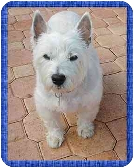 Westie, West Highland White Terrier Dog for adoption in North Palm Beach, Florida - Lexi