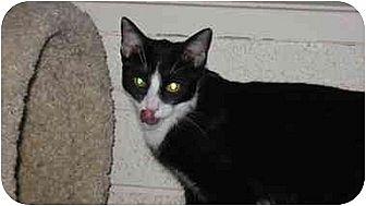 Domestic Shorthair Cat for adoption in Scottsdale, Arizona - Timothy