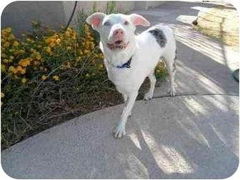 Australian Shepherd/Wirehaired Fox Terrier Mix Dog for adoption in Mesa, Arizona - Spud