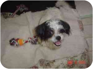 Shih Tzu/Terrier (Unknown Type, Medium) Mix Dog for adoption in Houston, Texas - Andy