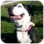 Photo 2 - Greater Swiss Mountain Dog/American Pit Bull Terrier Mix Dog for adoption in Auburn, California - Bailey