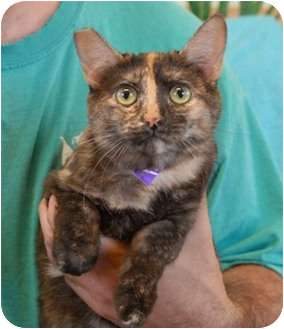 Domestic Shorthair Cat for adoption in Las Vegas, Nevada - Ivy