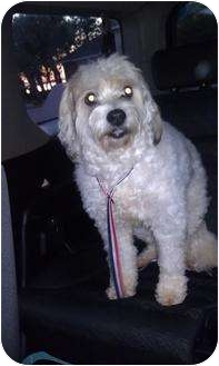 Wheaten Terrier/Poodle (Standard) Mix Dog for adoption in Mary Esther, Florida - Missy