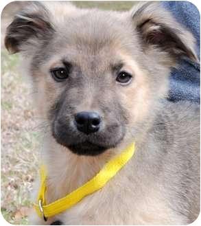 Shepherd (Unknown Type) Mix Puppy for adoption in Wakefield, Rhode Island - HOPE(BEAUTIFUL SHEPHERD PUP!!)