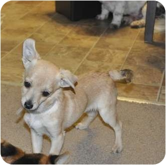 Chihuahua Mix Puppy for adoption in Tumwater, Washington - JAY JAY