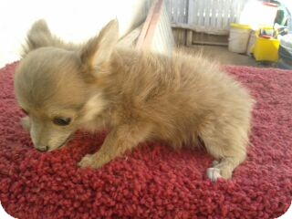 Chihuahua/Pomeranian Mix Puppy for adoption in Chandler, Arizona - Tinkerbell