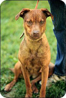 Doberman Pinscher Mix Dog for adoption in Colville, Washington - Carmine