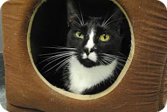 Domestic Shorthair Cat for adoption in Gainesville, Florida - Jeter