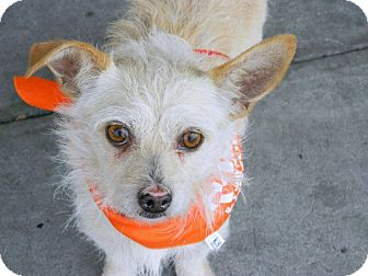 Norwich Terrier/Terrier (Unknown Type, Small) Mix Dog for adoption in Bellflower, California - Scotty-easy low maintenance