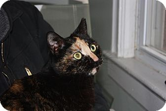 Domestic Shorthair Cat for adoption in Little Falls, New Jersey - Susie (LE)