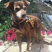 Adopt A Pet :: Buster Brown - Santa Monica, CA