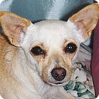 Adopt A Pet :: Buttercup - Chandler, AZ