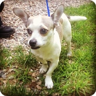 Chihuahua Mix Dog for adoption in Bloomfield, Connecticut - Veto