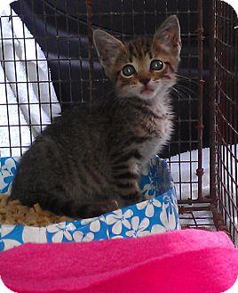 Bengal Kitten for adoption in Miami Beach, Florida - Solo