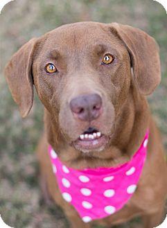 Labrador Retriever Dog for adoption in Glastonbury, Connecticut - Mocha