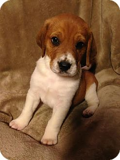 Australian Shepherd/Beagle Mix Puppy for adoption in waterbury, Connecticut - Dopey