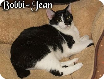 Manx Cat for adoption in River Edge, New Jersey - Bobbi-Jean