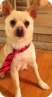 Chihuahua Mix Dog for adoption in Kalamazoo, Michigan - Metro - Amy