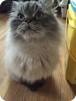 Himalayan Cat for adoption in Columbus, Ohio - Versace